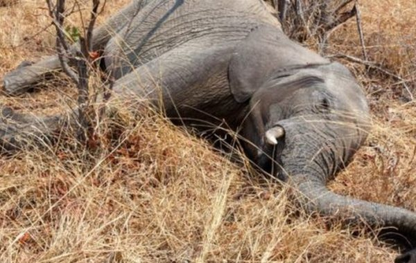 Ao menos 55 elefantes morrem de fome em meio à seca no Zimbábue
