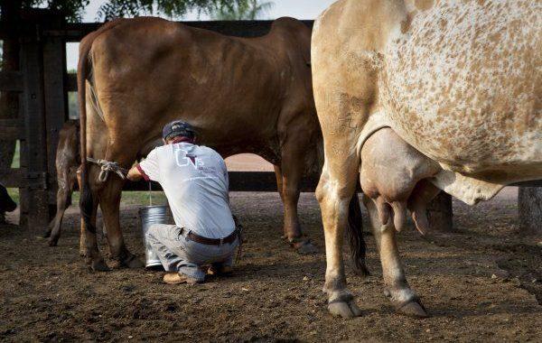 Em desespero, produtores ameaçam parar programa do leite em Alagoas